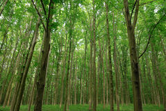 Slender trees in young forest green in summer. Stock Photos