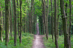 Slender trees in young forest green in summer. Royalty Free Stock Photography
