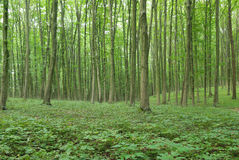 Slender trees in young forest green in summer Royalty Free Stock Image