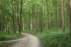 Slender trees in young forest green in summer Royalty Free Stock Photography