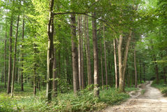 Slender trees in young forest green in summer Stock Photo