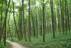 Slender trees in young forest green in summer Stock Photography
