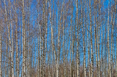 The slender trunks of young birches against the blue sky. Royalty Free Stock Photo