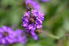 Slender vervain royalty free stock images