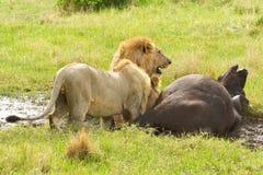 Slepen mannelijke leeuwen die onderaan een oud buffelsmannetje jagen in het nationale park van Masai Mara in Kenia, Royalty-vrije Stock Fotografie
