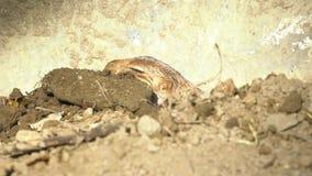 slepping在干燥领域的野生布朗草原土拨鼠的慢动作在好日子 影视素材