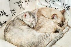 2 slepping кота Стоковая Фотография RF