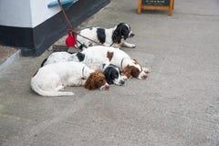 Slepping hundkapplöpning royaltyfria foton