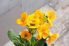 sleutelbloem Bloemen Eerste bloemen De lente De wesp is neergestreken op een bloem stock foto