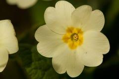 Sleutelbloem de Stengelloze, primavera, prímula vulgaris foto de archivo libre de regalías