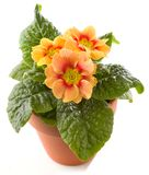 Sleutelbloem in geïsoleerde bloempot Stock Afbeelding