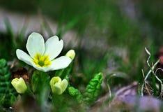 Sleutelbloem vulgaris Primula Stock Foto's