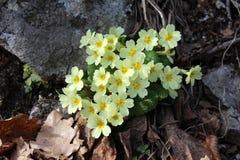 Sleutelbloem - vulgaris Primula - tussen stenen en bladeren royalty-vrije stock afbeelding