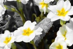 Sleutelbloembush met witte bloemen Royalty-vrije Stock Afbeeldingen