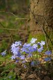 Sleutelbloemen in het bos Stock Foto