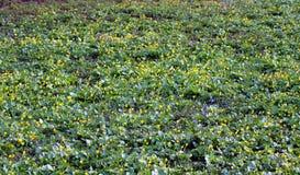 Sleutelbloemen in het de lentebos Stock Fotografie