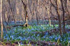 Sleutelbloemen in het de lentebos Royalty-vrije Stock Afbeeldingen