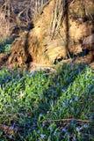 Sleutelbloemen in het de lentebos Royalty-vrije Stock Fotografie