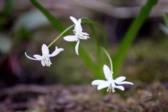 Sleutelbloemen in het de lentebos Stock Foto's