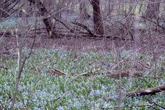 Sleutelbloemen in het de lentebos Stock Afbeeldingen