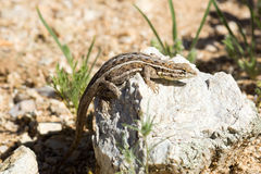Slevin's Bunchgrass Lizard (Sceloporus slevini) basking on a roc Royalty Free Stock Image