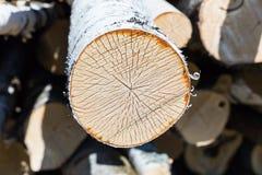 Slice of birch Stock Photos