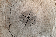 Slice from a fir tree of old wood texture. Stock Photo