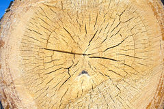 Slice of round pine log with annual rings close up Stock Photography