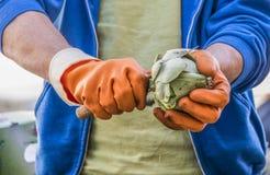 Slicing an artichoke Stock Image