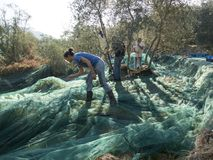 Slicing and collecting olives for the production of extra virgin. Olive oil in a typical terraced countryside campaign of the Ligurian Riviera in Italy. Green Stock Photo