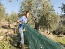 Slicing and collecting olives for the production of extra virgin Royalty Free Stock Images