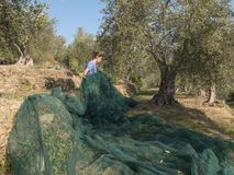 Slicing and collecting olives for the production of extra virgin. Olive oil in a typical terraced countryside campaign of the Ligurian Riviera in Italy. Green Royalty Free Stock Photos