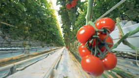 Slider shot change from a greenhouse passway to a cluster of red tomatoes. Abrupt shot change from a greenhouse passway to a cluster of red tomatoes. 4K stock video