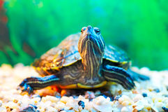 Slider turtle Stock Image