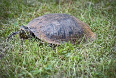 Slider Turtle Closeup Royalty Free Stock Images