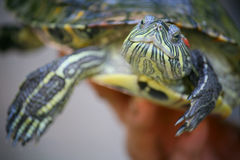 Slider turtle. Stock Photo