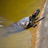 Slider turtle Royalty Free Stock Image