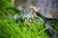 Slider turtle Royalty Free Stock Image