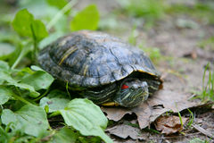 Slider turtle Stock Photo