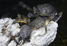 Slider turtle on the stone. Royalty Free Stock Photography