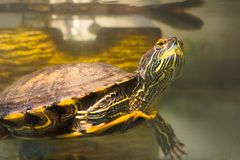 Slider Turtle swimming closeup. Cute slider turtle swimming. Trachemys scripta elegans is a semiaquatic turtle belonging to the family Emydidae royalty free stock image