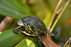 Slider turtle Royalty Free Stock Photography