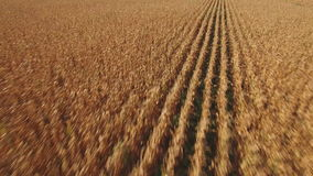Sliding camera over cultivated corn field stock video footage