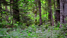 Scenic panorama of green forest thicket in summer. Sliding panoramic view of beautiful forest with giant spuces and pines and lush folliage in front stock footage