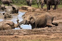 Sliding into the Waterhole Royalty Free Stock Image