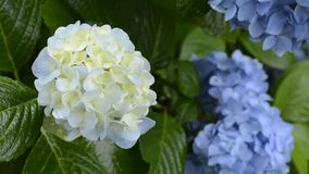 Slight blue hydrangea flower stock video
