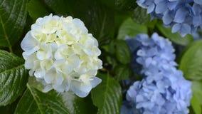 Slight blue hydrangea flower stock video