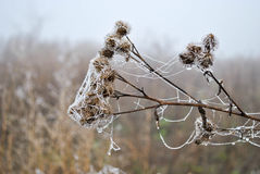 Slight frosts. Iced withered plant covered with ice Stock Photos
