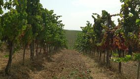 Slight movement of the camera between the rows on the vineyard stock footage