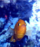 Slight Resemblance To Nemo???. This is a head on view of the big boy.  This is a male African Kenyi Cichlid.  He has dropped all of the blue color that they are Stock Photos
